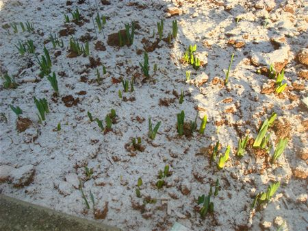 Spring bulbs sprouting under snow