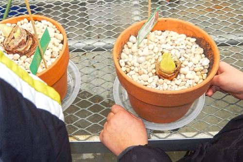Amaryllis bulbs at Columbus School, New Rochelle, NY -- Amy's Greenhouse
